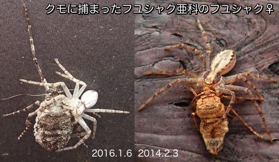 15冬尺亜科♀クモ捕食