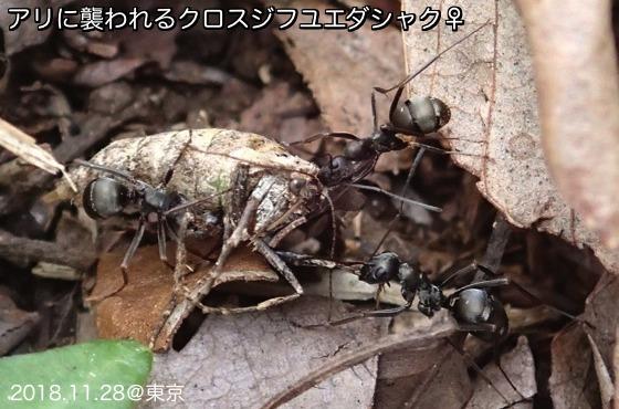 14黒筋冬枝尺蟻襲撃