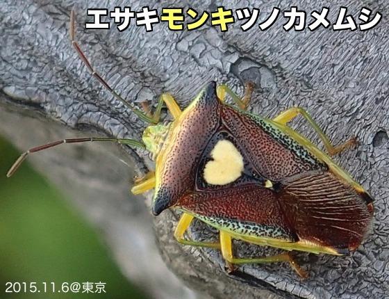 01江崎紋黄角亀虫成虫A