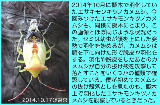 02江崎紋黄角亀虫羽化14