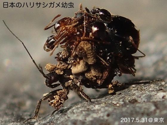 02ハリサシガメ幼虫F1
