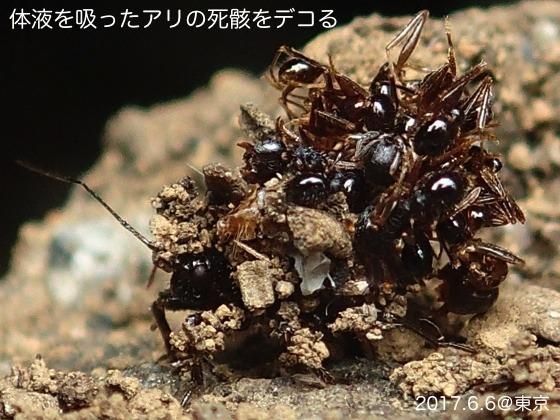 03ハリサシガメ幼虫F2