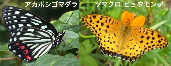01赤星胡麻斑褄黒豹紋