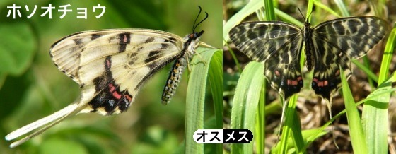 02細尾蝶♂♀
