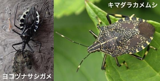 04横綱刺亀&黄斑亀虫