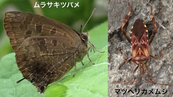 03紫燕&松縁亀虫