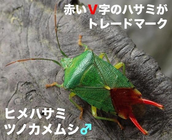 03姫鋏角亀虫♂再