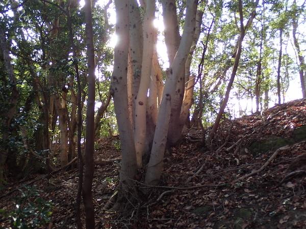 「光る木」観察会初日②
