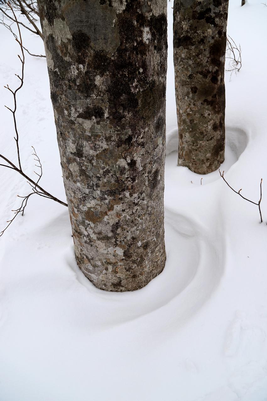 20200229雪の中で生きるブナ
