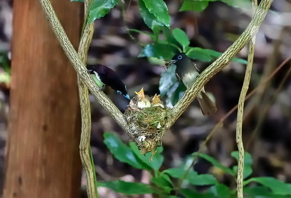 コアオアシシギ