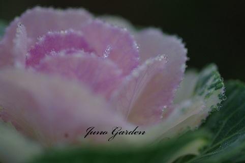 葉牡丹191201