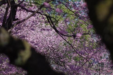 1桜200307