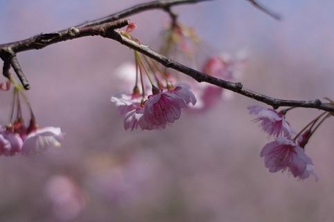 2桜200307