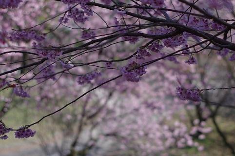 4桜200308