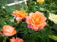 秋の花巻温泉街バラ園2019-09-28-38