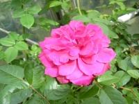 秋の花巻温泉街バラ園2019-09-28-40