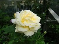 秋の花巻温泉街バラ園2019-09-28-45