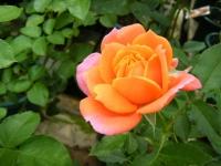 秋の花巻温泉街バラ園2019-09-28-46