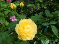 秋の花巻温泉街バラ園2019-09-28-47