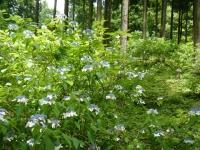 2019-07-13一関市舞川 紫陽花園192