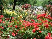 2019-06-23花巻温泉薔薇園206