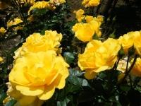 2019-06-23花巻温泉薔薇園209