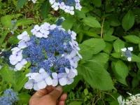 2019-07-13一関市舞川 紫陽花園194