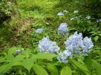 2019-07-13一関市舞川 紫陽花園195