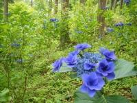 2019-07-13一関市舞川 紫陽花園196