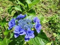 2019-07-13一関市舞川 紫陽花園197