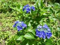 2019-07-13一関市舞川 紫陽花園198