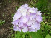 2019-07-13一関市舞川 紫陽花園199