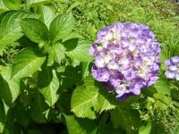 2019-07-13一関市舞川 紫陽花園200