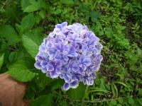 2019-07-13一関市舞川 紫陽花園201