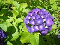 2019-07-13一関市舞川 紫陽花園202