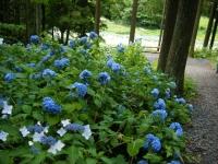 2019-07-13一関市舞川 紫陽花園203