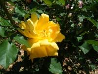 2019-06-23花巻温泉薔薇園223