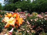 2019-06-23花巻温泉薔薇園227