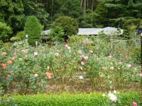 秋の花巻温泉街バラ園2019-09-28-67