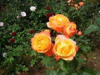 秋の花巻温泉街バラ園2019-09-28-70