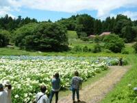 2019-07-13一関市舞川 紫陽花園205