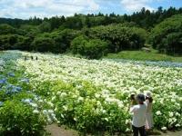 2019-07-13一関市舞川 紫陽花園206