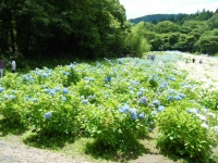 2019-07-13一関市舞川 紫陽花園207