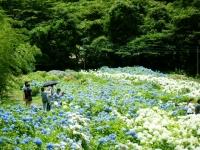 2019-07-13一関市舞川 紫陽花園208