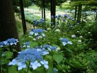 2019-07-13一関市舞川 紫陽花園209
