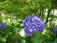2019-07-13一関市舞川 紫陽花園210