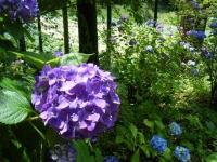2019-07-13一関市舞川 紫陽花園211