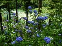2019-07-13一関市舞川 紫陽花園212