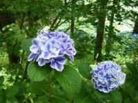 2019-07-13一関市舞川 紫陽花園213