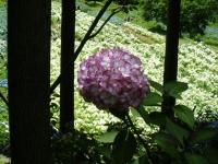 2019-07-13一関市舞川 紫陽花園215